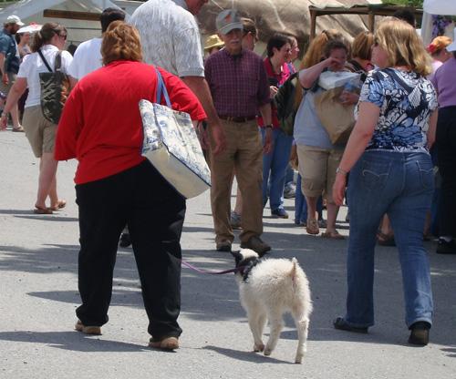 Sheep on a leash