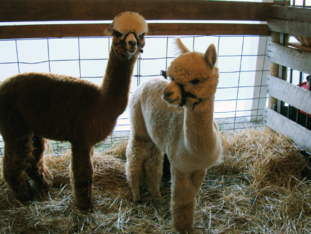 rimworld how to get alpaca wool