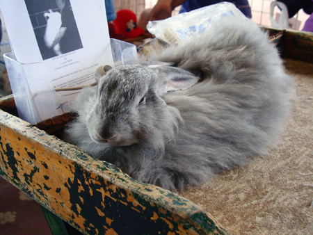 Beautiful angora bunny